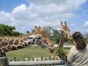 giraffes-69141_1280